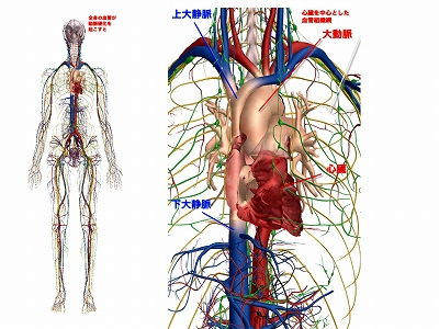心臓血管網