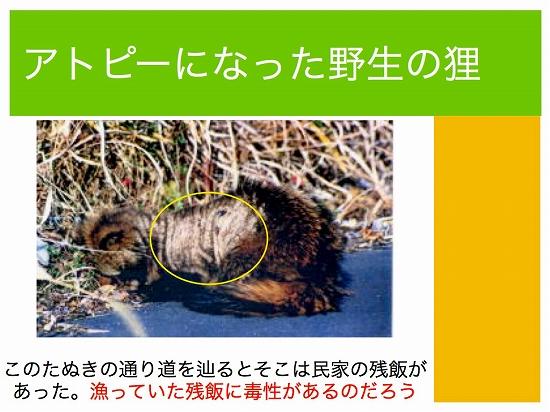 アトピーになった野生の狸