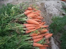 野菜の固定種