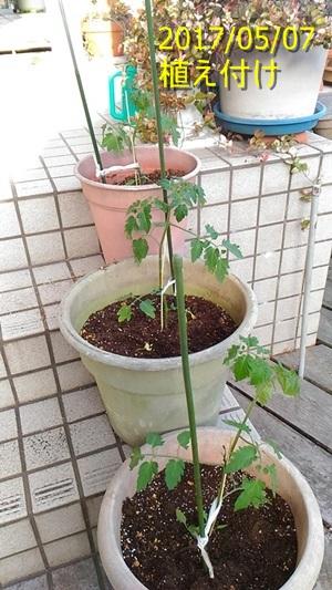 ミニトマトの植え付け